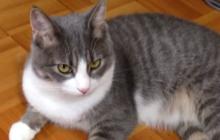タキシード柄の猫