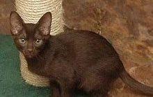 チョコレート色の被毛の猫