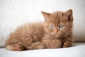 シナモン色の被毛の猫