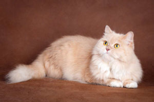 クリーム&ホワイトの被毛の猫