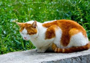 レッド&ホワイトの被毛の猫