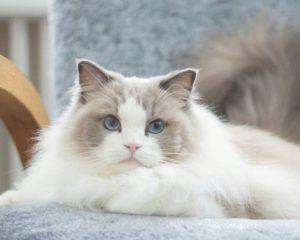 ライラック&ホワイトの被毛の猫