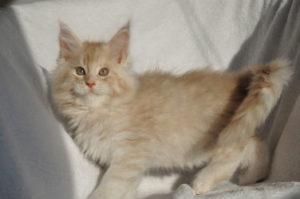 フォーン色の被毛の猫