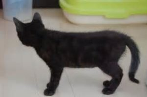 スモーク柄の猫