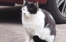 マントル柄の猫
