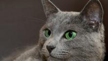 緑系統の目のロシアンブルー