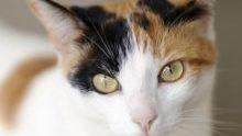 黄色系統の目の三毛猫