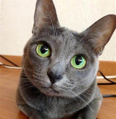 コラットの被毛や目の色