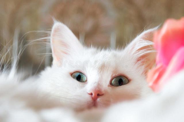 ターキッシュアンゴラの被毛や目の色