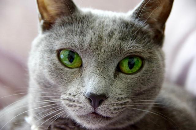 ロシアンブルーの被毛や目の色