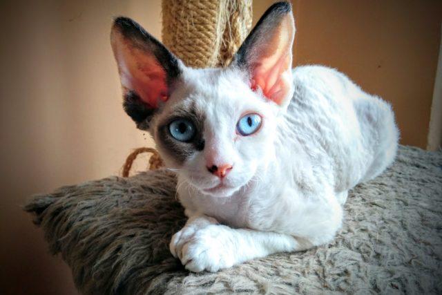 デボンレックスの被毛や目の色