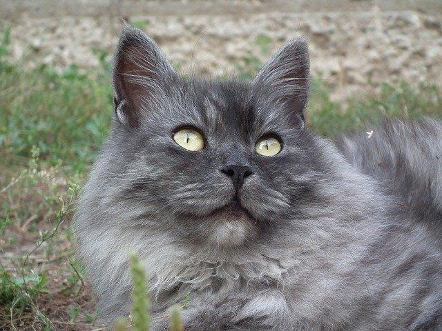 サイベリアンの被毛や目の色