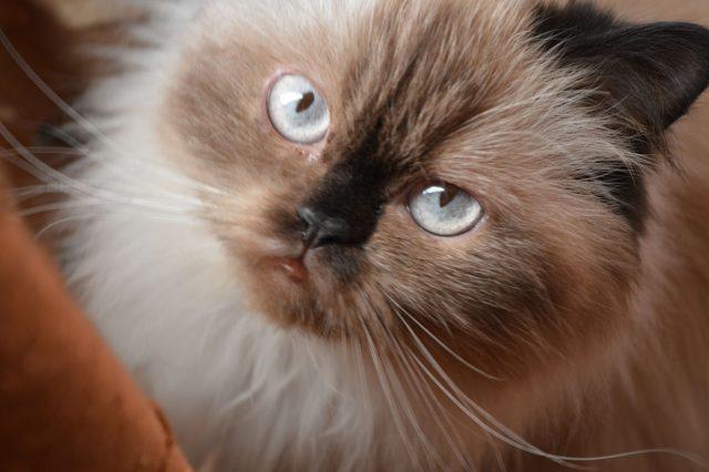 ヒマラヤンの被毛や目の色