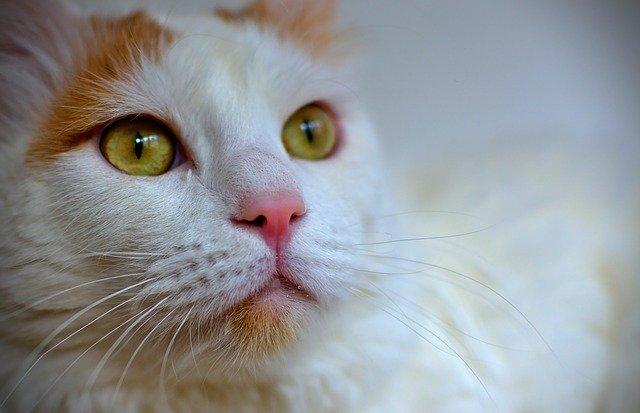 ターキッシュバンの被毛や目の色
