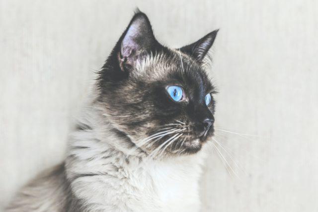 バリニーズの被毛や目の色