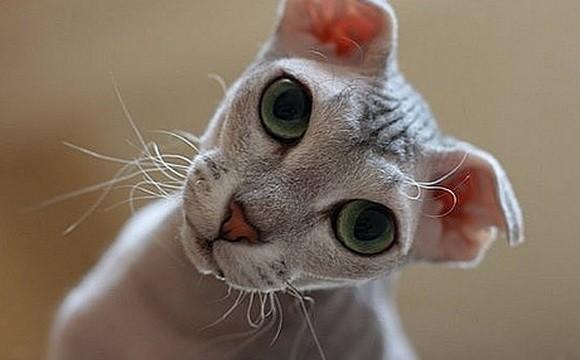 ユークレイニアンレフコイの被毛や目の色