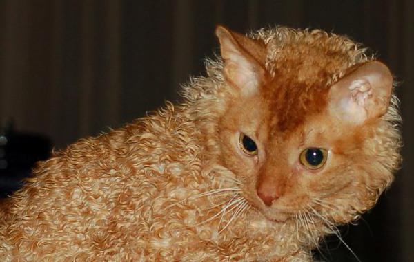 ウラルレックスの被毛や目の色