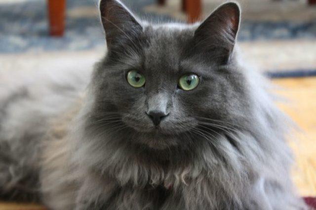 ネベロングの被毛や目の色