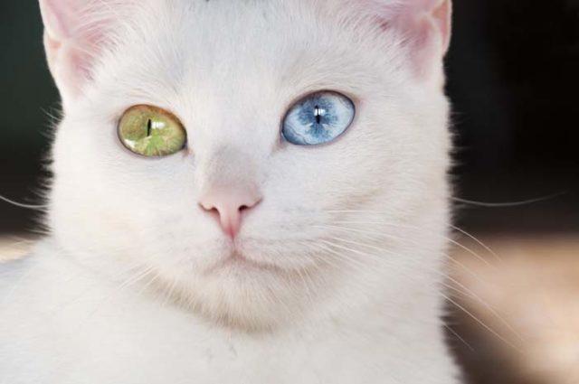 カオマニーの被毛や目の色