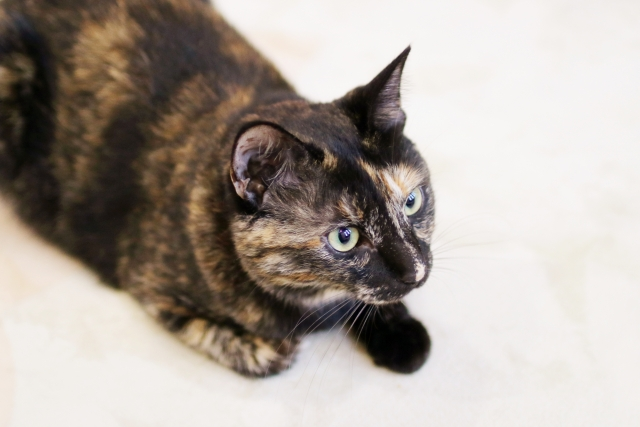 日本猫(和猫)の被毛や目の色