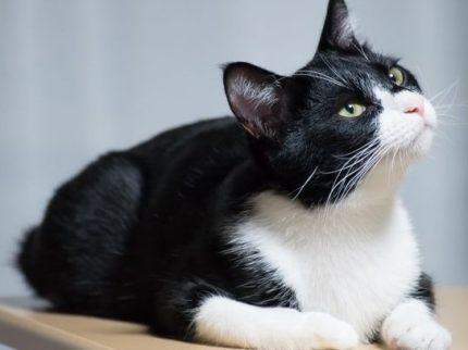 日本猫(和猫)