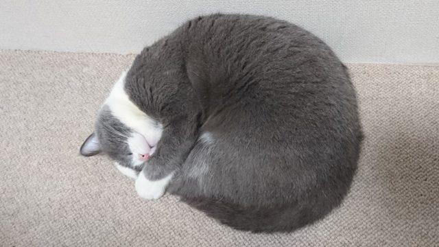 猫のニャンモナイト