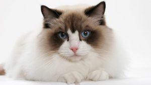 穏やかな性格の猫種
