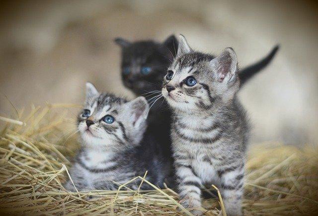 猫の離乳期(生後約3週目~生後約10週目)