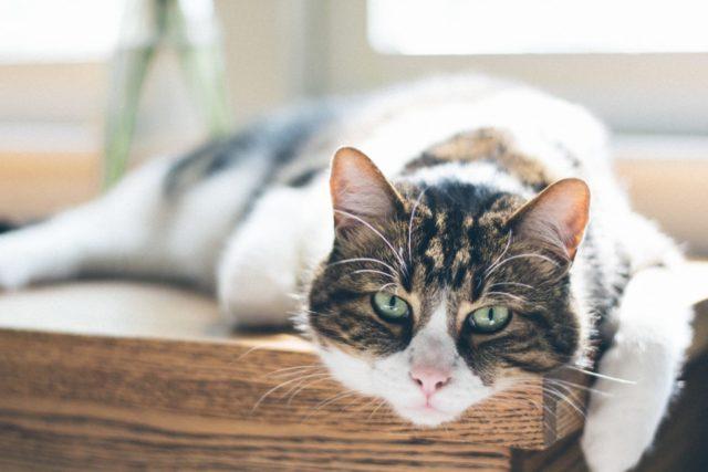 猫のシニア期(生後9年~寿命まで:人年齢52歳~)