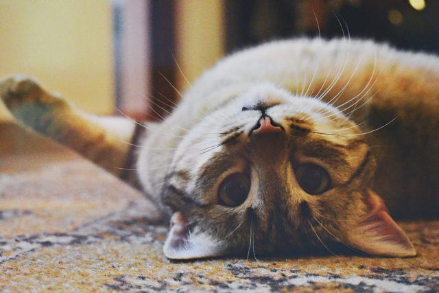 猫が撫でられたいポイントを把握する
