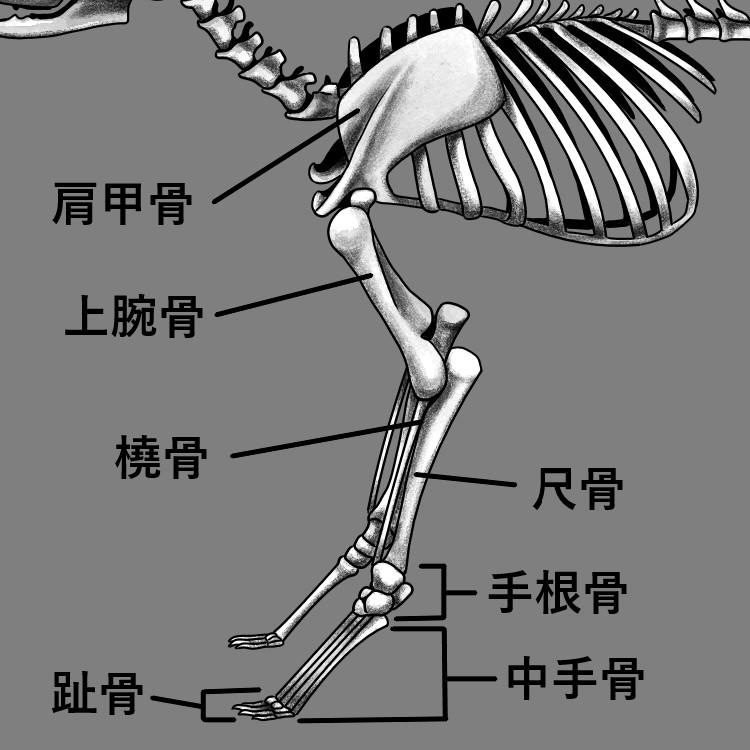 猫の前足部