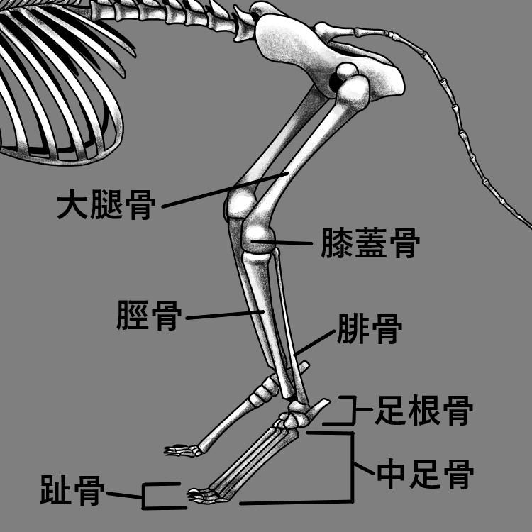 猫の後足部